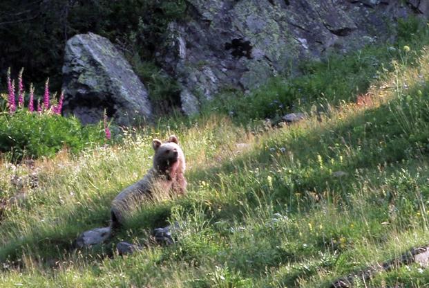 Ours des Pyrenees © Frantz breitenbach
