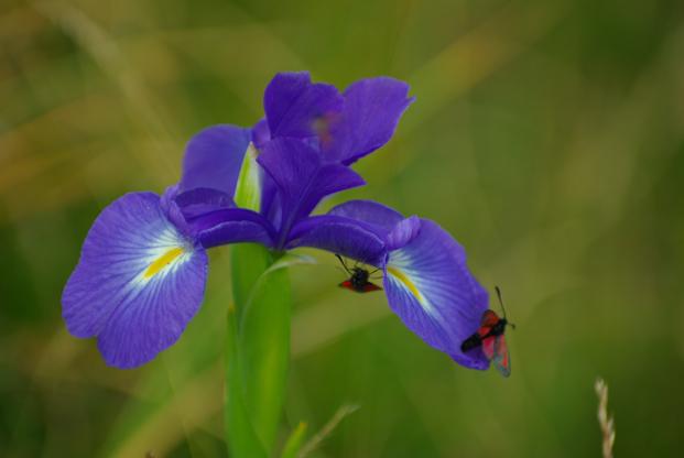 Iris et papillons