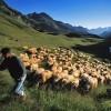 Berger et pastoralisme