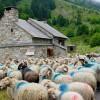 Brebis devant la bergerie dans le Val d'Azun