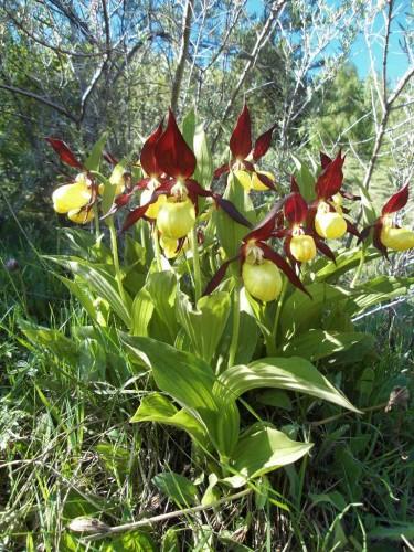 Sabot de venus fleur end mique des pyr n es etonnantes - Orchidee sabot de venus ...