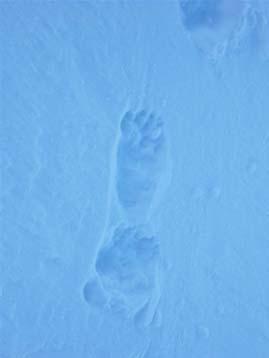 Traces d'ours dans la neige